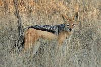 Jackal (Black-backed Jackal)(黑背豺)