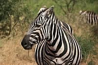 Zebra (Common Zebra)(斑馬)
